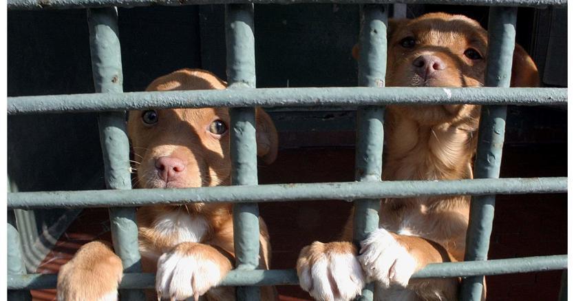 Traffico di cuccioli: dopo 10 anni i cani sequestrati lasciano le famiglie «adottive»