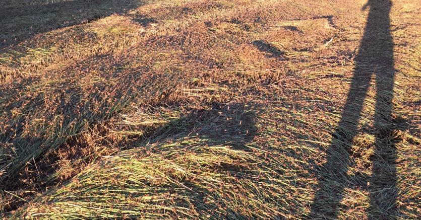 Campagne sarde invase dalle locuste. Coldiretti: intervenga la Regione