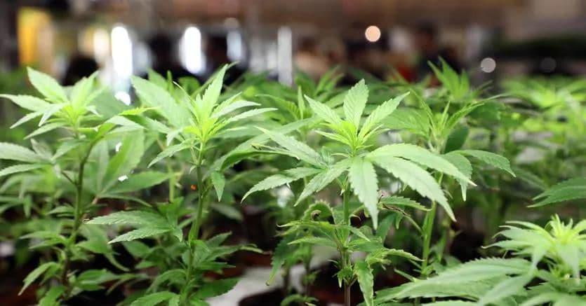 Per la cannabis in Italia un giro d'affari potenziale di 30 miliardi