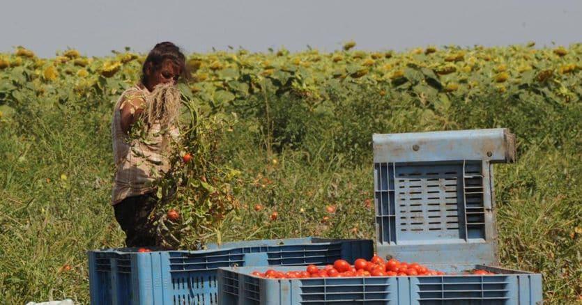 30mila richieste per lavorare nei campi. Il profilo: italiani, laureati e camerieri
