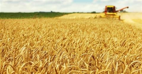 Sbarcano in Puglia navi cariche di grano estero. E il prezzo di quello italiano crolla