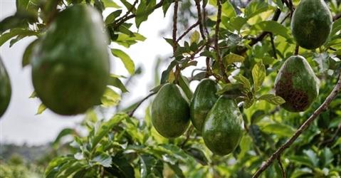 È boom della frutta esotica made in Italy: coltivazioni raddoppiate in meno di tre anni