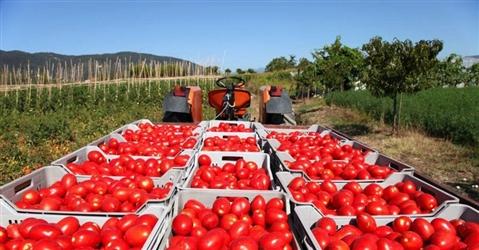 Emergenza pomodoro, da quattro Regioni appello al Governo