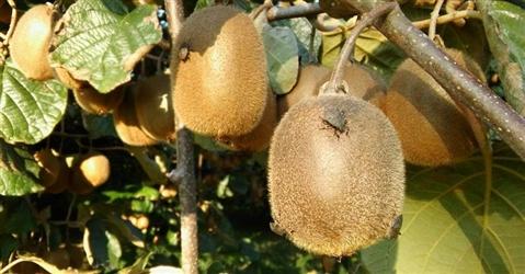 Cimice asiatica, la Xylella del Nord Dimezzata la produzione di frutta