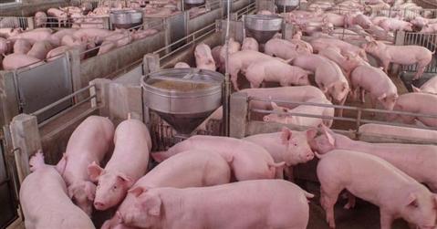 Carni suine, industria a rischio collasso: +40% rincari sulle materie prime