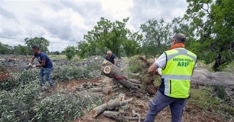 Xylella, in Puglia in campo i droni per sconfiggere il killer degli ulivi