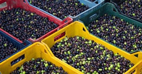 La grande distribuzione non risponde per l'olio venduto come extravergine