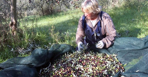 Crolla la produzione di olio d'oliva: atteso -22% nel 2020