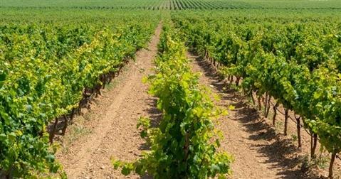 Primitivo di Manduria, in un anno cresce del 26 per cento